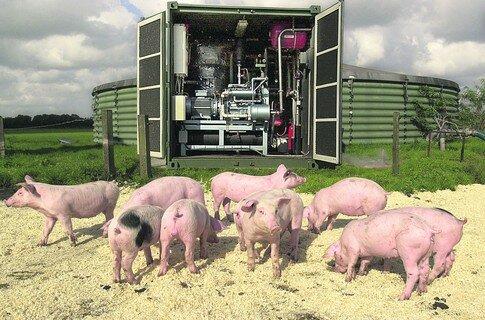 хрюшки производят биогаз
